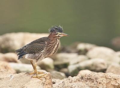 Juvenile Green Heron Eagle Creek Park Indianapolis, IN 9-11-11