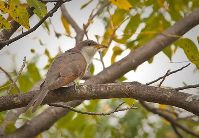 Yellow-billed Cuckoo Eagle Creek Park Indianapolis, Indiana 9/18/11