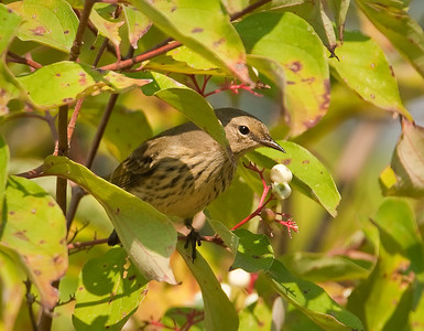 Female Cape May Warbler, 1st year fall plumage Eagle Creek Park Indianapolis, IN 9-11-11