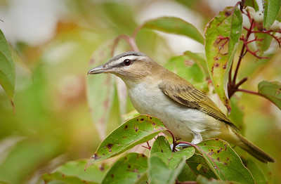 Red-eyed Vireo Eagle Creek Park Indianapolis, IN 9-11-11
