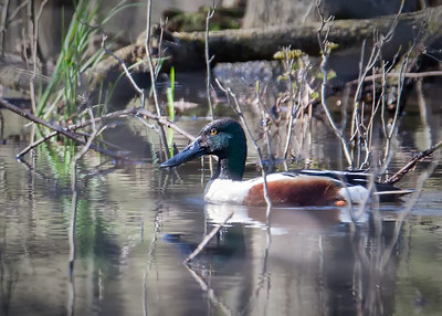 Northern Shoveler, drake in breeding plumage Eagle Creek Park 4-22-13