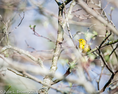 Prairie Warbler, male Eagle Creek Park 4-22-13