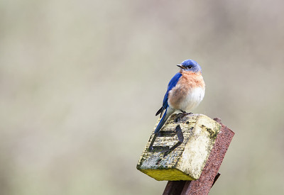 Eastern Bluebird, male Eagle Creek Park 4-20-13