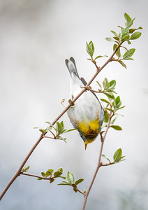 Northern Parula Eagle Creek Park 4-20-13