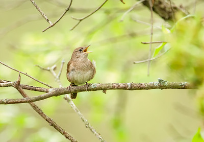 House Wren, singing Eagle Creek Park 5-5-13