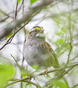 White-throated Sparrow Eagle Creek Park 5-5-13