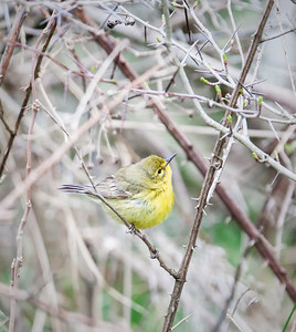 Prairie Warbler, female Eagle Creek Park 4-20-13