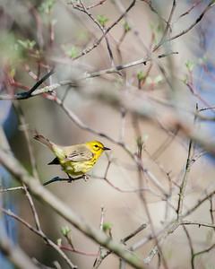 Prairie Warbler, female Eagle Creek Park 4-22-13