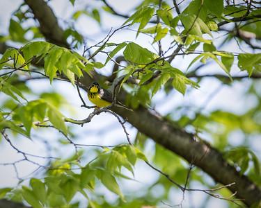 Canada Warbler, breeding male