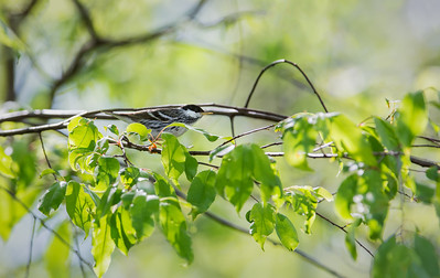 Blackpoll Warbler, male in breeding plumage