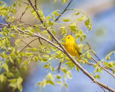 Yellow Warbler, male in breeding plumage