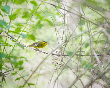 Wilson's Warbler, adult male