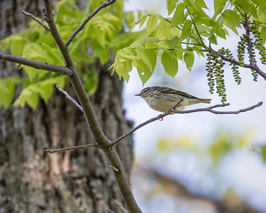 Blackpoll Warbler, breeding female