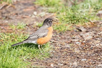 2977 American Robin