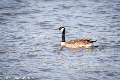 3180 Canada Goose