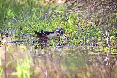 Wood Duck in habitat (male in breeding plumage)