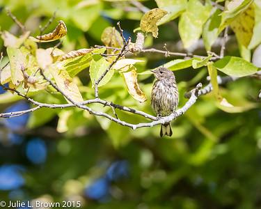 9023 Yellow-rumped Warbler in Juvenal plumage