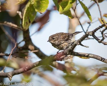 8987 Yellow-rumped Warbler in Juvenal plumage