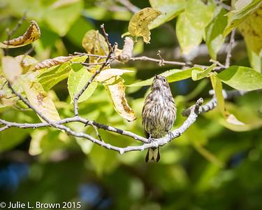 9029 Yellow-rumped Warbler in Juvenal plumage