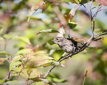 8995 Yellow-rumped Warbler in Juvenal plumage