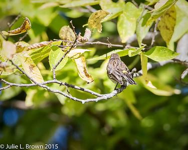 9008 Yellow-rumped Warbler in Juvenal plumage