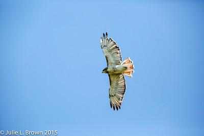 9583 Red-tailed Hawk in flight