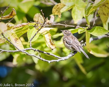 9006 Yellow-rumped Warbler in Juvenal plumage