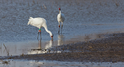 Whooping Crane Pair, foraging Goose Pond FWA Linton, Indiana  2-20-12