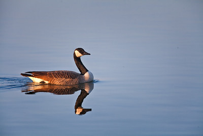Canada Goose and reflection Eagle Creek Park Indianapolis, Indiana 3-17-12