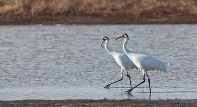 Whooping Crane Pair, walking in tandem Goose Pond FWA Linton, Indiana  2-20-12