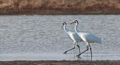 Whooping Crane Pair, walking in tandem Goose Pond FWA Linton, Indiana  2-20-12
