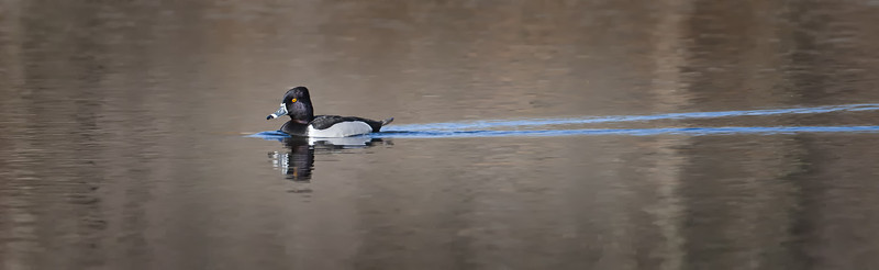 Ring-necked Duck, male  Eagle Creek Park Indianapolis, IN  3-17-12