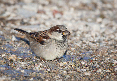 House Sparrow, adult male, non-breeding Hancock County, Indiana 1/15/12
