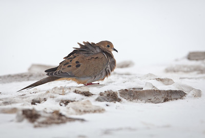 Mourning Dove Mt. Comfort, Indiana 1-21-11