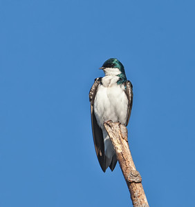 Tree Swallow, male perched on snag Eagle Creek Park Indianapolis, Indiana  3/17/12