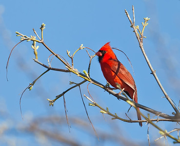 Northern Cardinal, male perched with spring buds Eagle Creek Park Indianapolis, Indiana  3/17/12