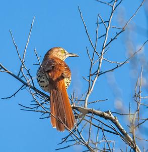 Brown Thrasher Eagle Creek Park Indianapolis, Indiana  3-17-12