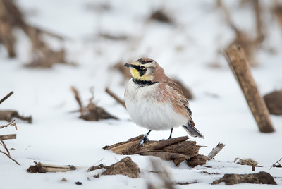 Horned Lark, adult male Mt. Comfort, Indiana 1-21-11