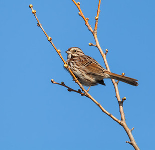 Song Sparrow, eastern adult Eagle Creek Park Indianapolis, Indiana  3-17-12