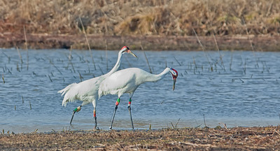 Whooping Crane Pair Goose Pond FWA Linton, Indiana  2-20-12