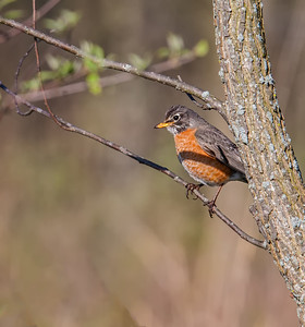 American Robin Ritchey Woods Nature Preserve Fishers, Indiana  4-6-12