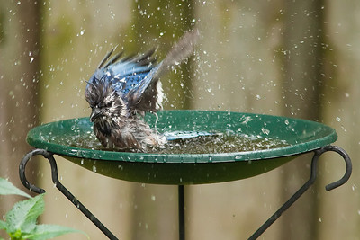 Blue Jay Bird Bath 5 August 2010