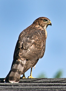 Cooper's Hawk on Rooftop