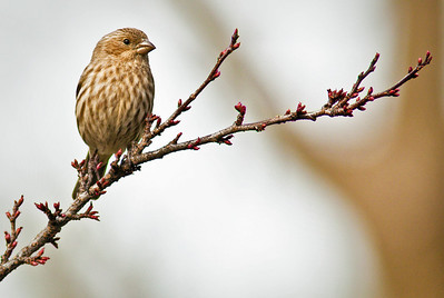 Female Housefinch Spring 2010