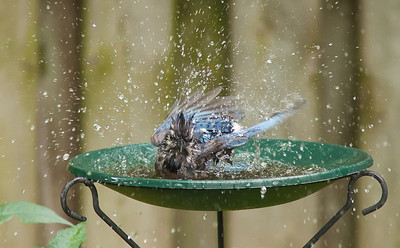 Blue Jay Bird Bath 2 August 2010