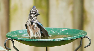 Blue Jay Bird Bath 6 August 2010