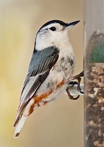 Nuthatch at feeder Spring 2010