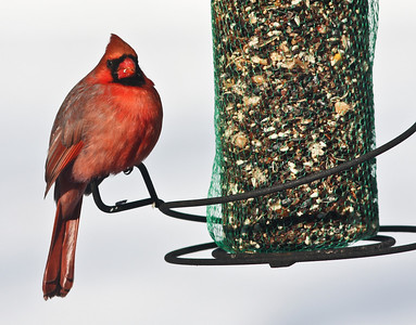 Cardinal at feeder Winter 2010