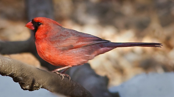 Male Cardinal in evening light Winter 2010