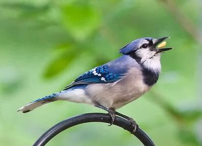 Blue Jay tossing peanut Spring 2010